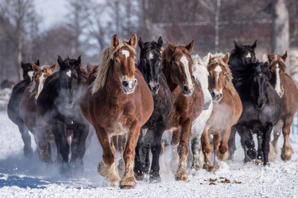 十勝牧場の馬追い